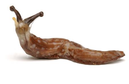 Large_slug